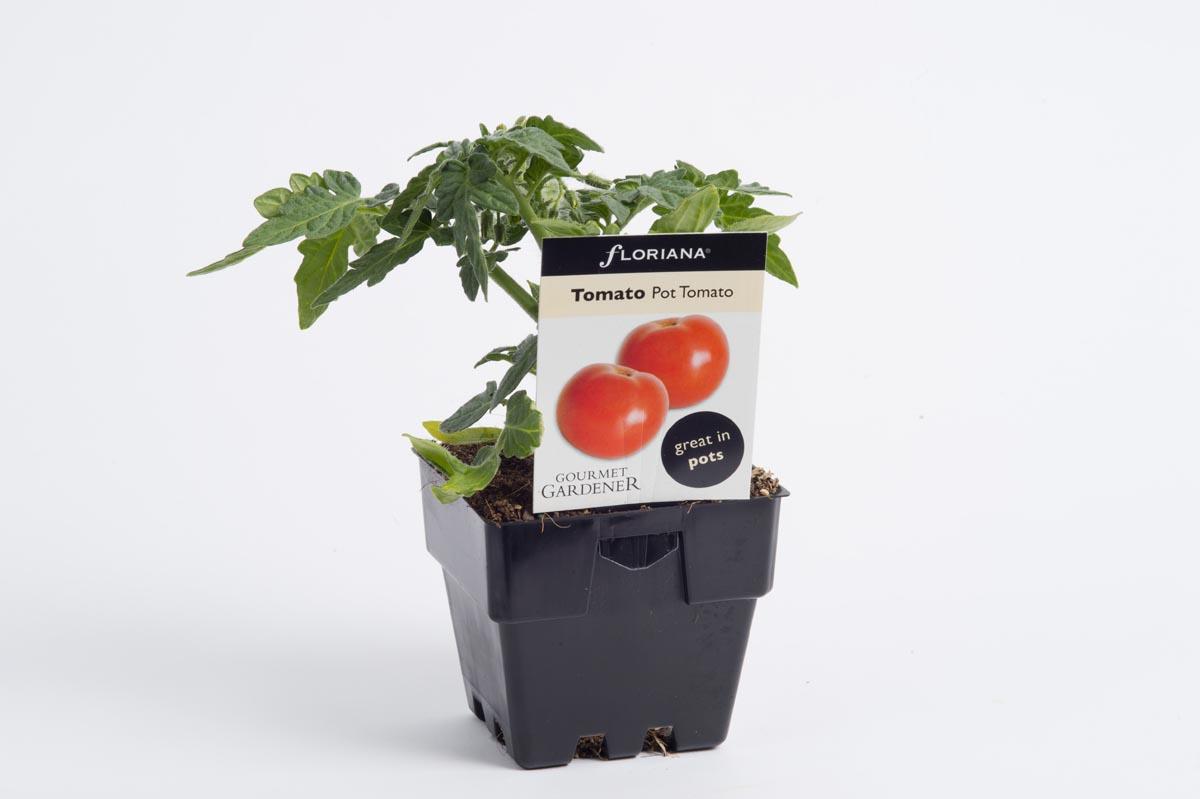 Pot Tomato